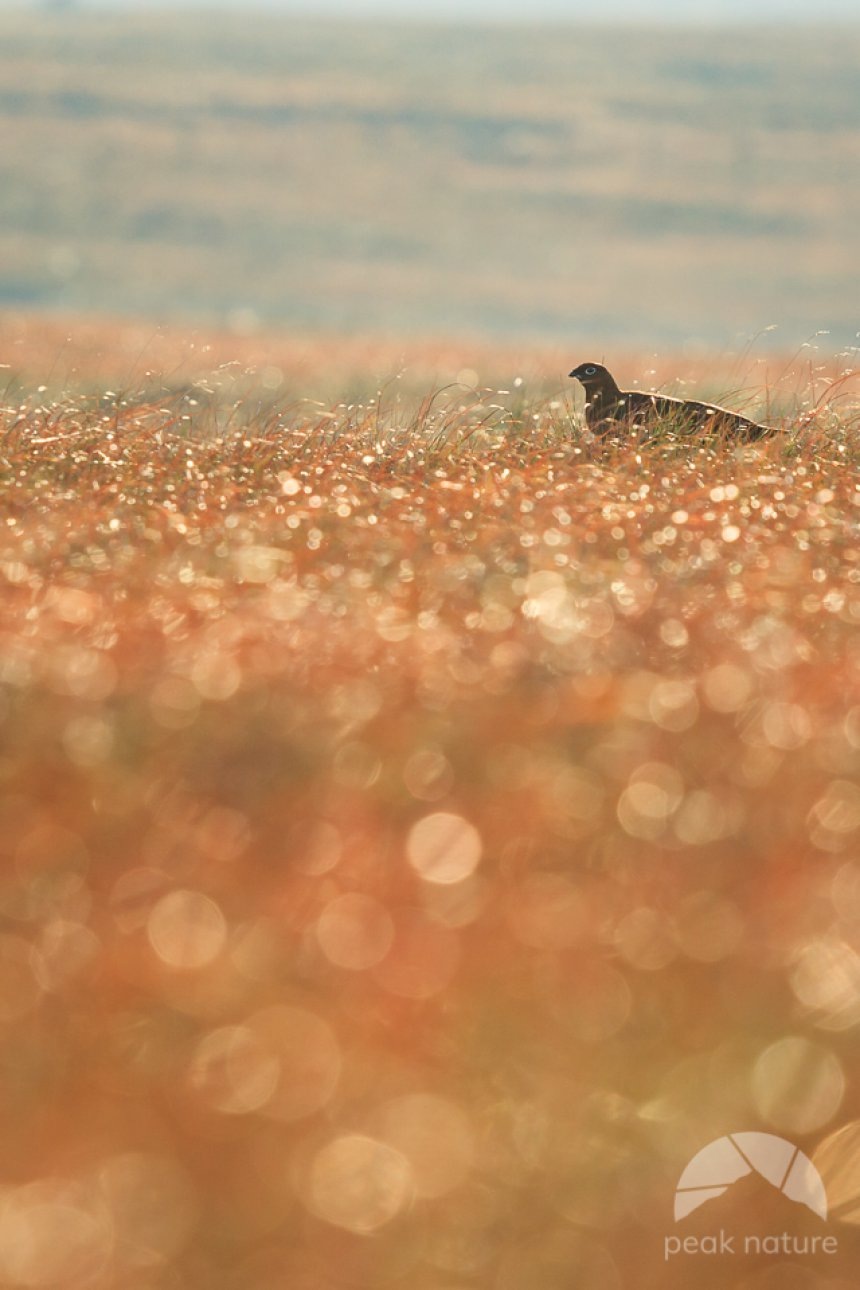 Grouse in the Dew