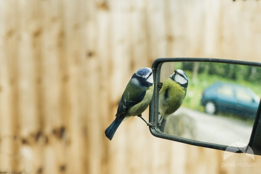 Blue Tit's Reflection