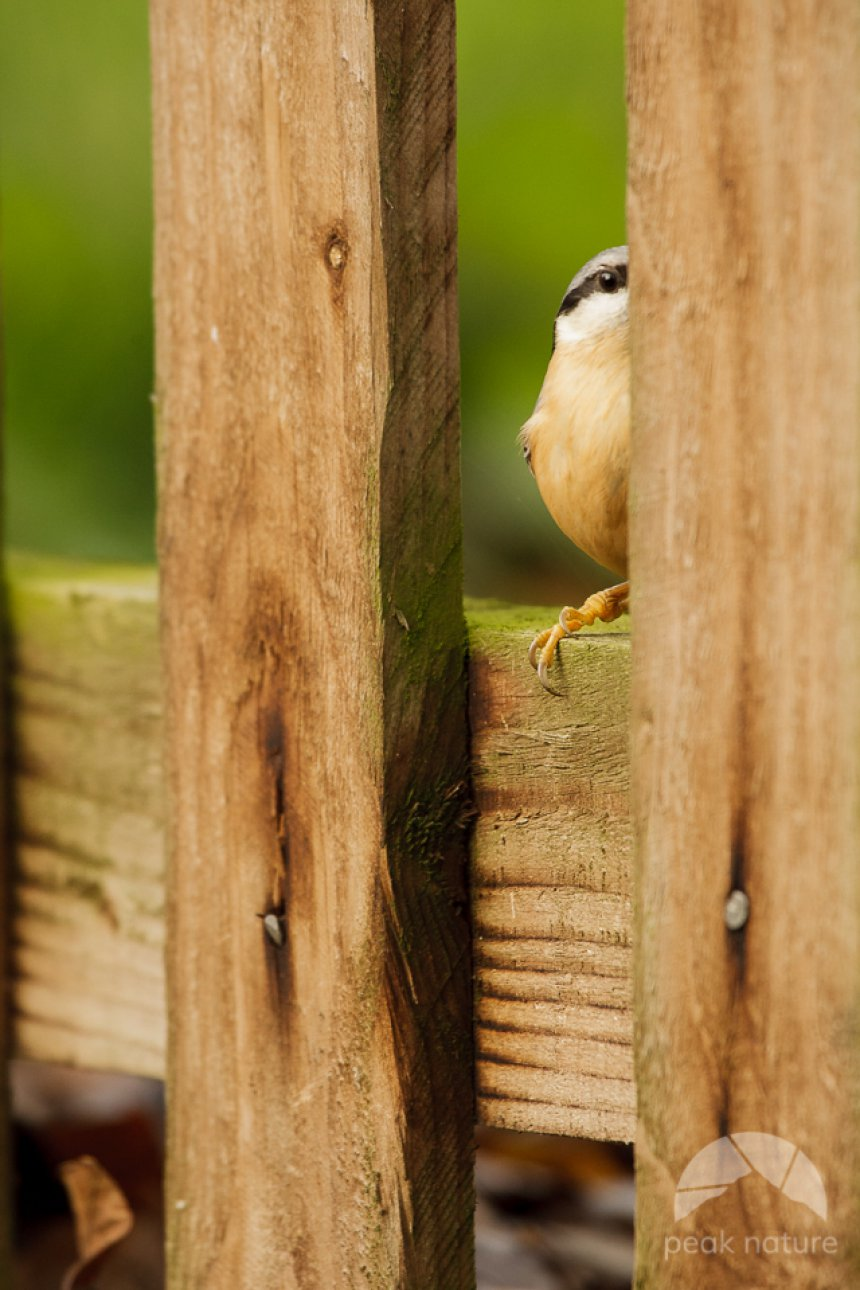 Sneaky Nuthatch