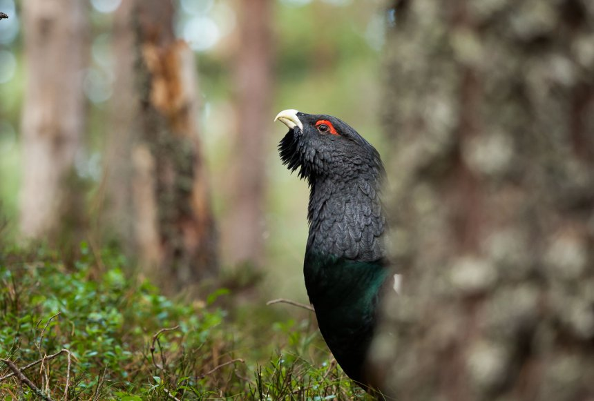 Forest Grouse