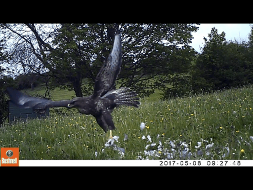 Buzzard Footage - 8 May 2017