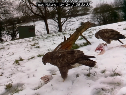 Buzzard Footage - 13 & 14 December 2017