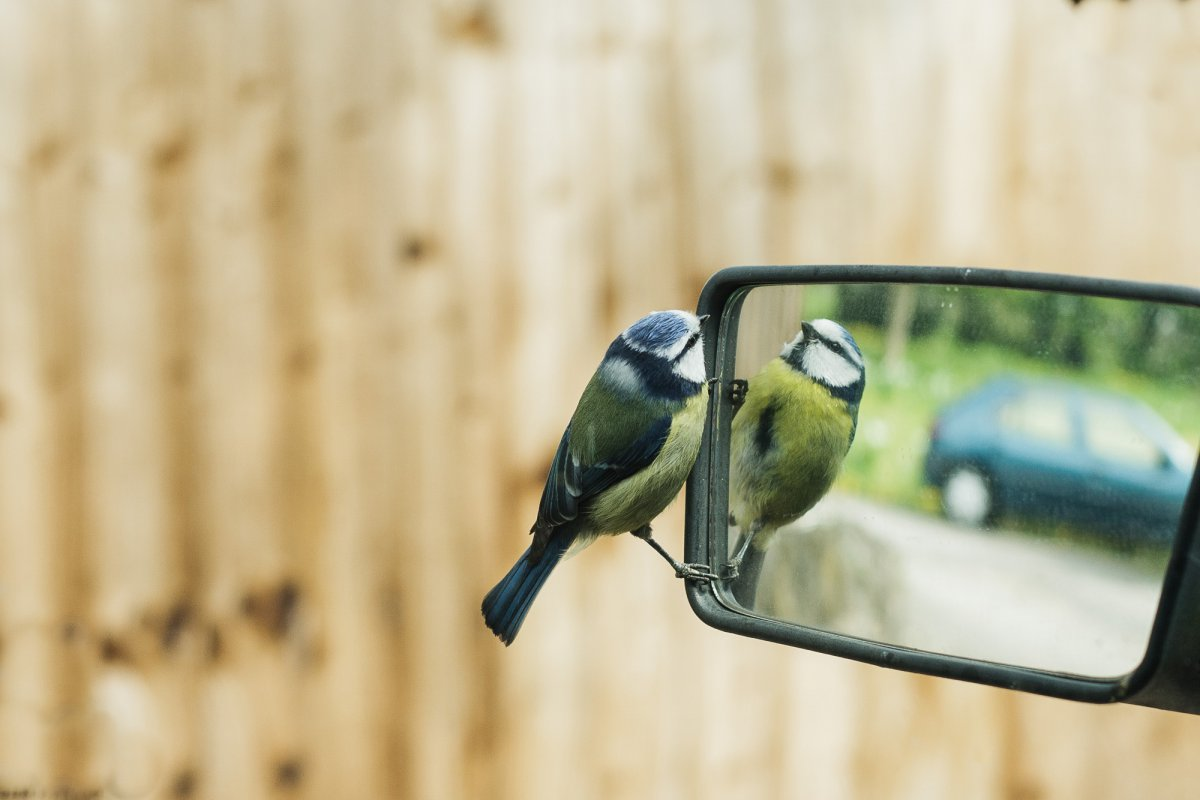 Blue tit looking in car wing mirror
