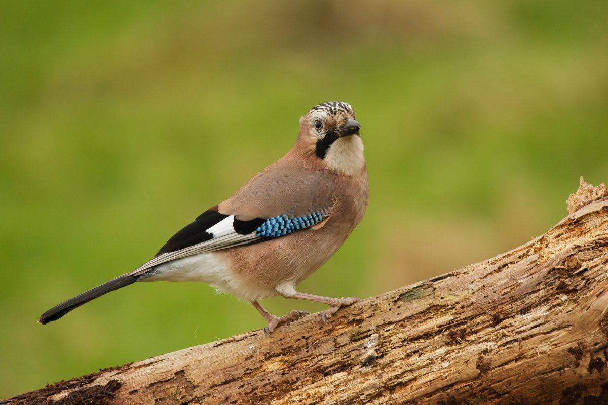 Jay perched on log