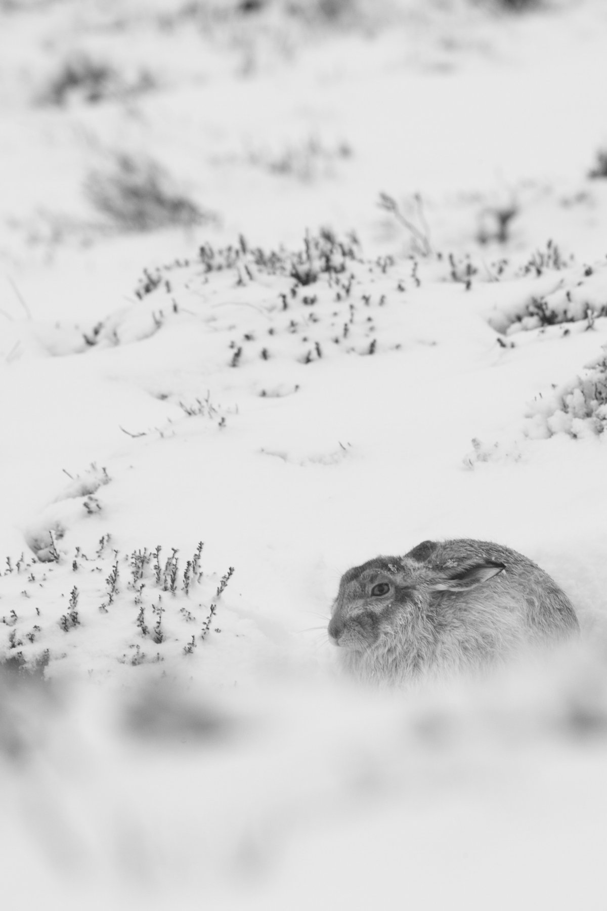 Mountain hare sat on snowy background