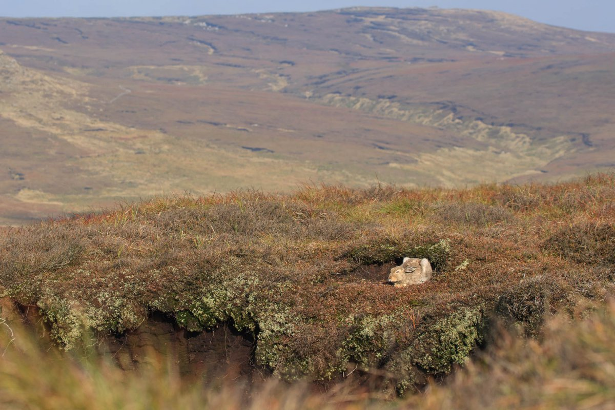 Mountain hare sat within peak district moorland