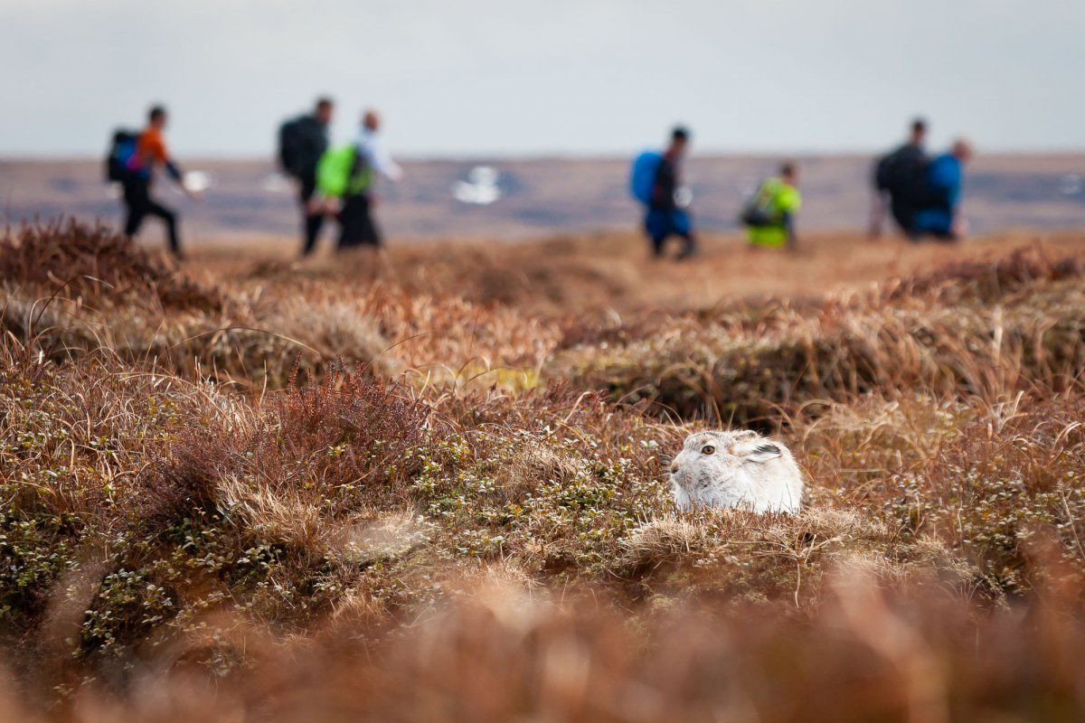 Mountain hare with walkers in background