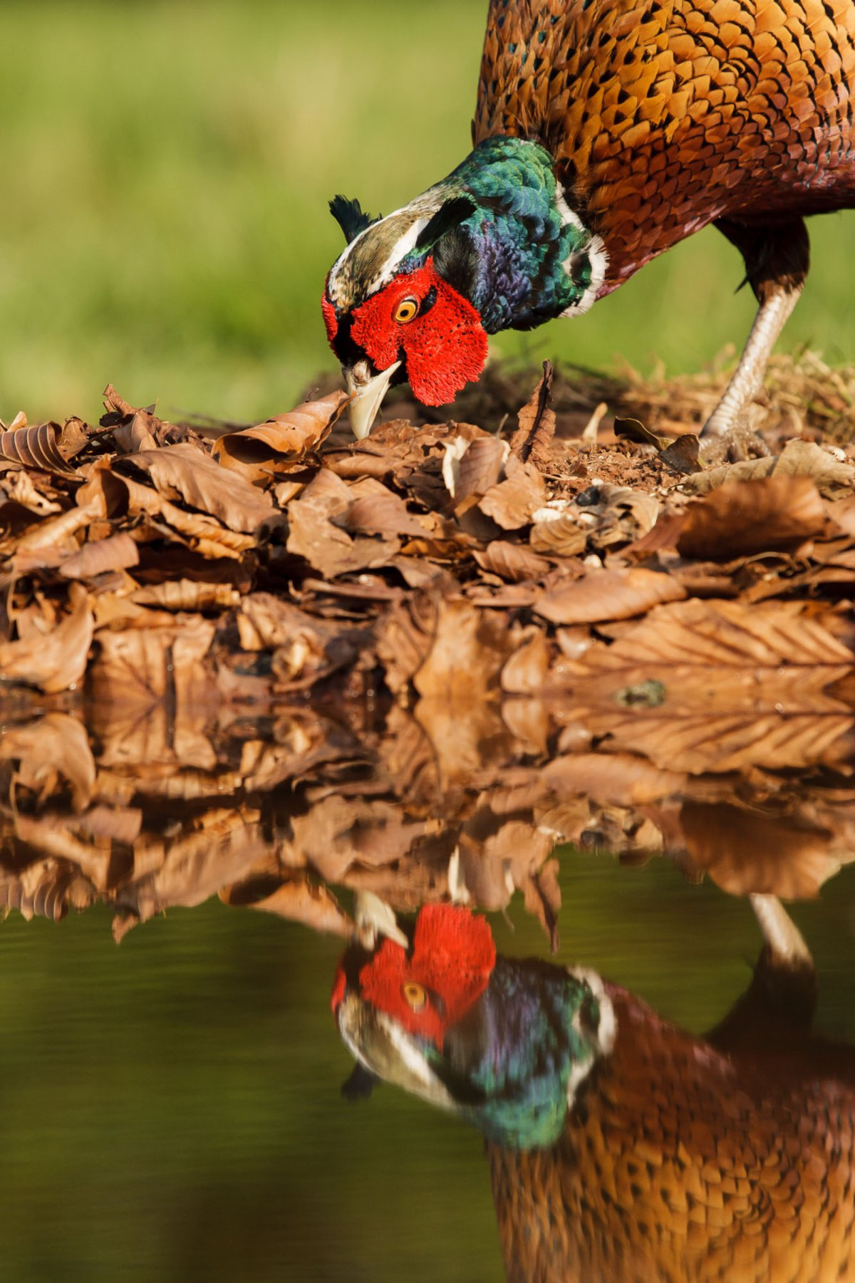 Pheasant looking at reflection in water