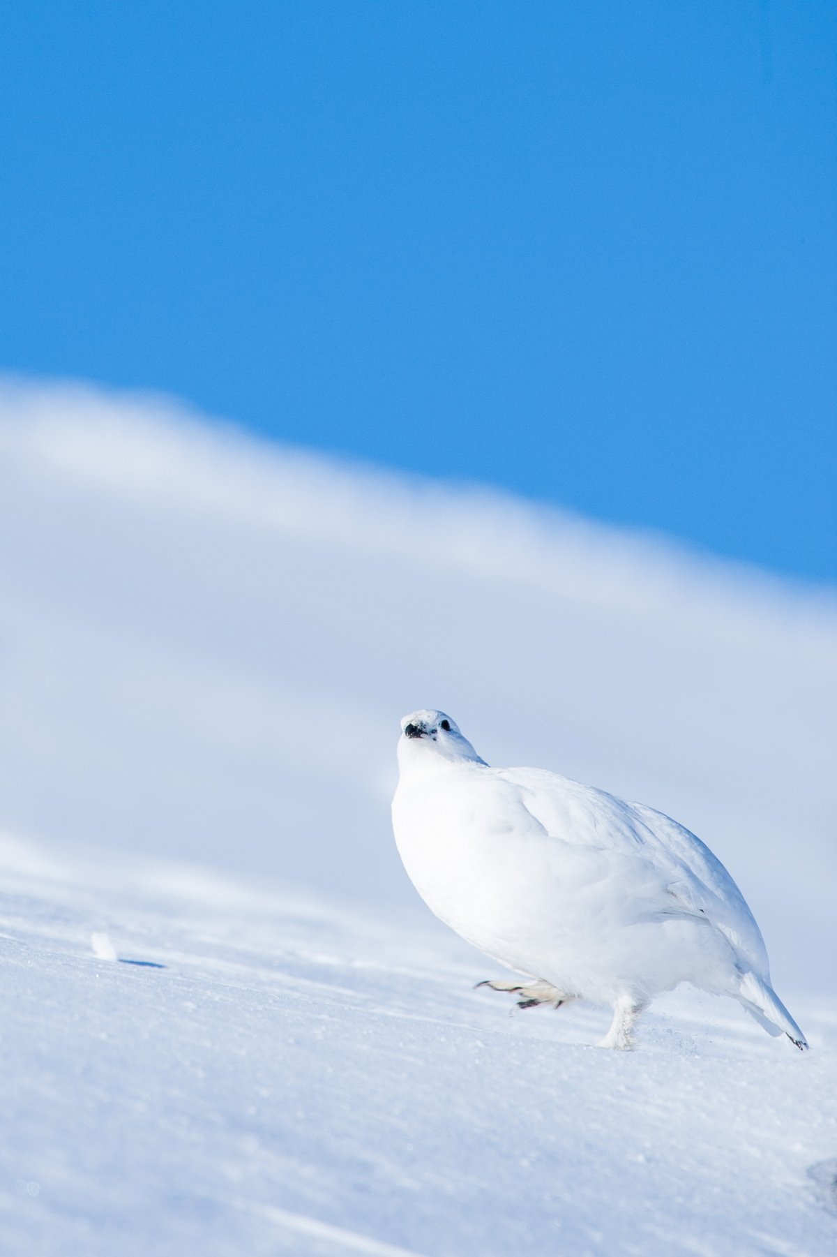 Ptarmigan walking up snow field