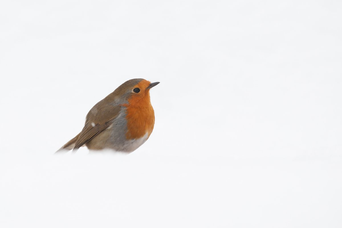 Robin perched in snow