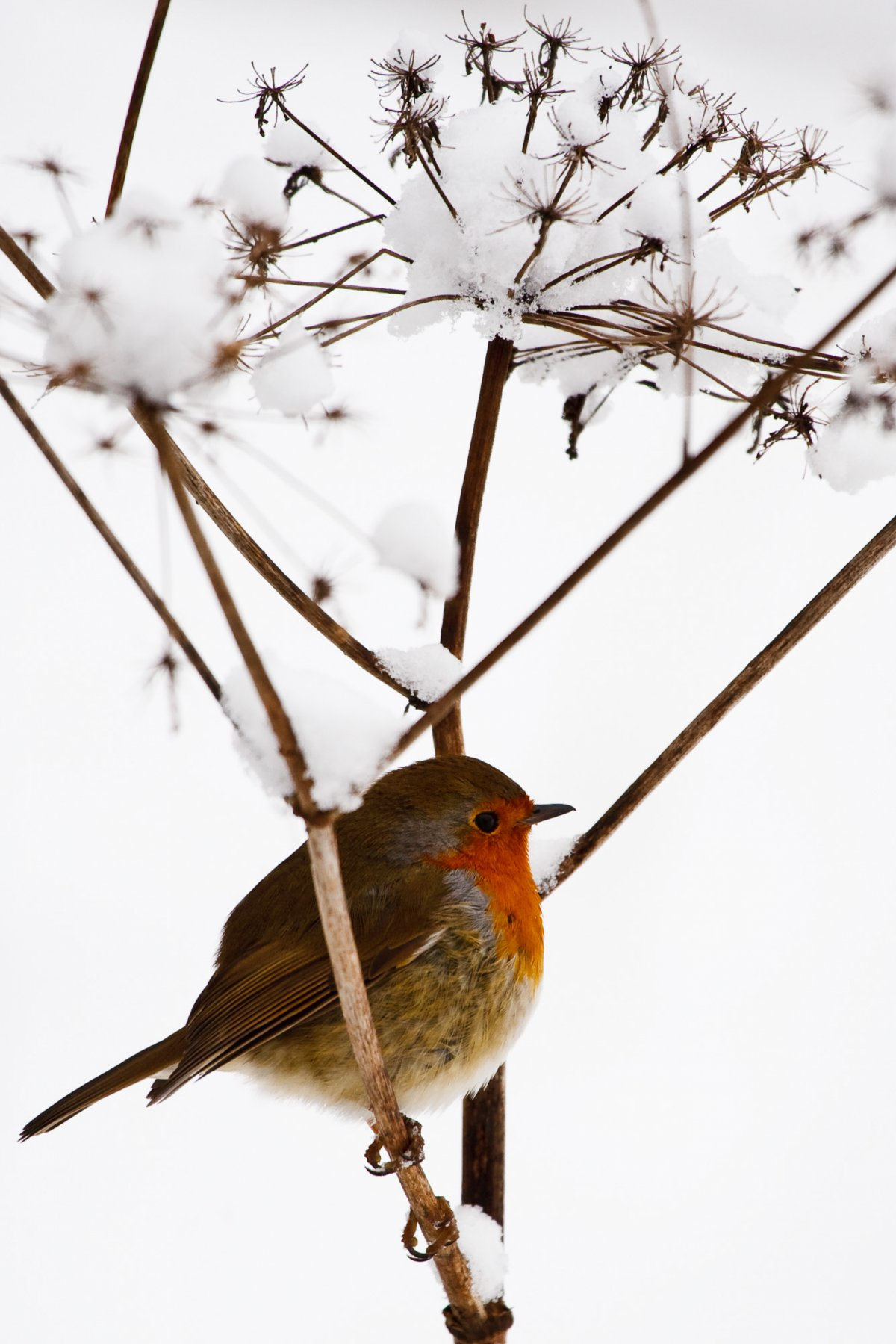 Robin perched on snowy branch