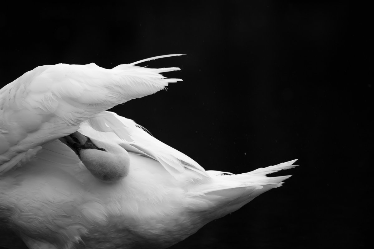 Swan preening black and white