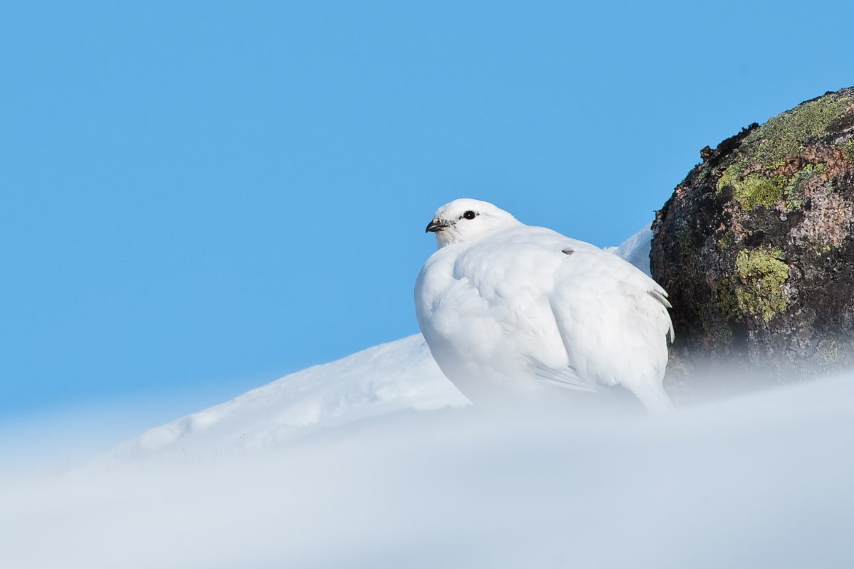 Ptarmigan in Snowfield